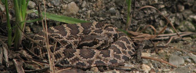 juvenile curled-up rattlesnake