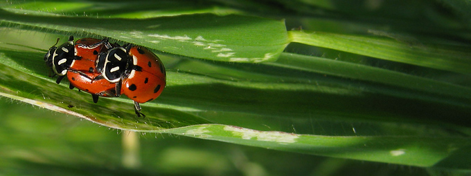 mating ladybeetles