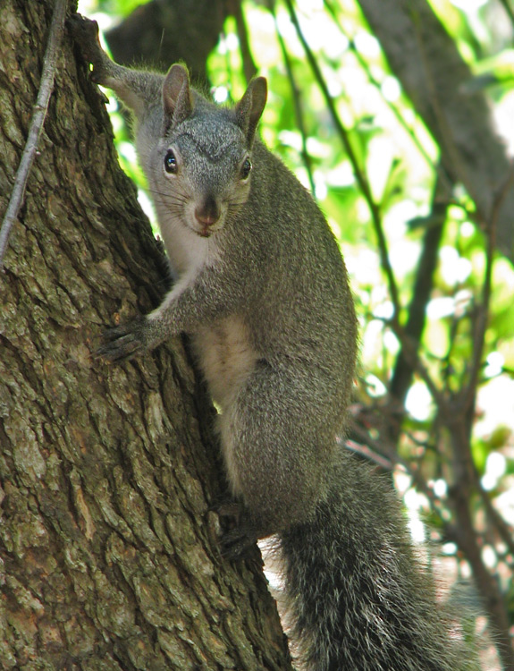 gray squirrel stare