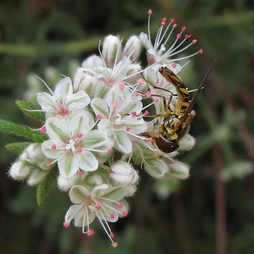 allograpta obliqua on eriogonum