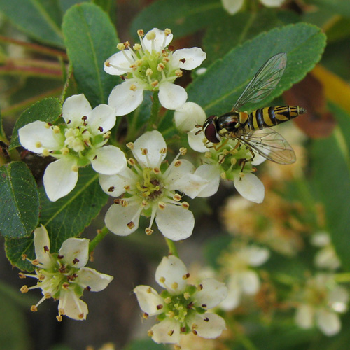 allograpta obliqua on pyracantha