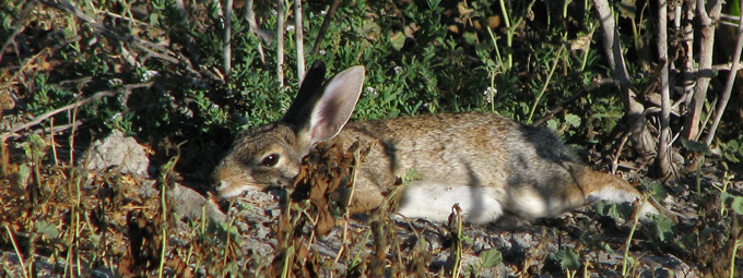 desert cottontail lounging