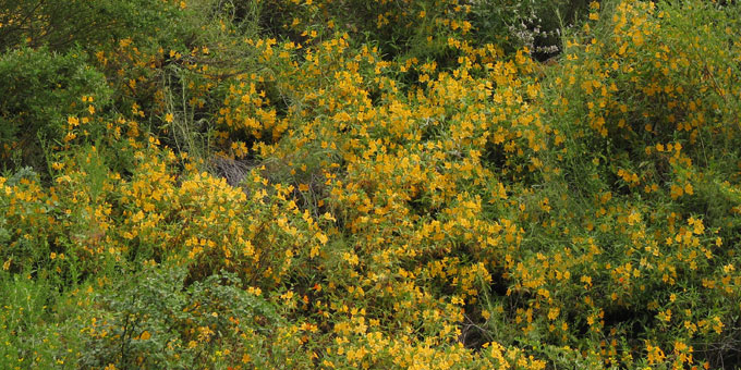 orange bush monkey flower hillside