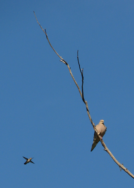 Mourning Dove & hummer