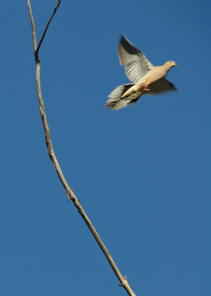 Mourning Dove in-flight