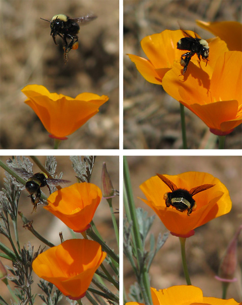 bumble bees on poppies