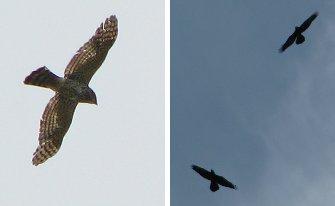 Cooper's Hawk & Common Ravens