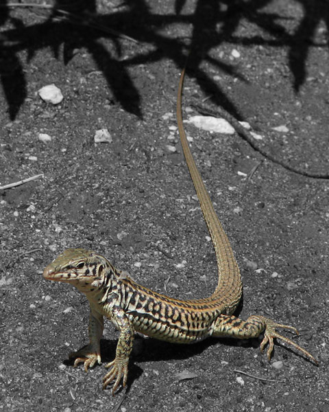 Coastal Whiptail, selective color