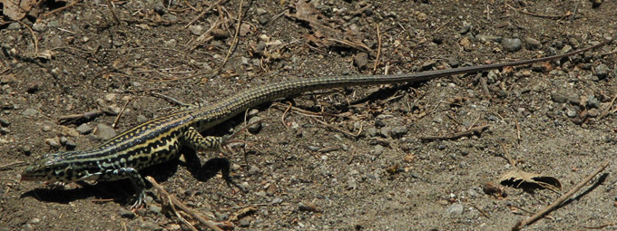 Coastal Whiptail, on the move