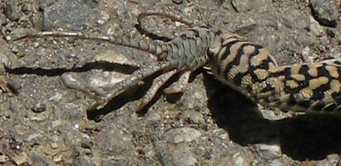 Coastal Whiptail, back claws