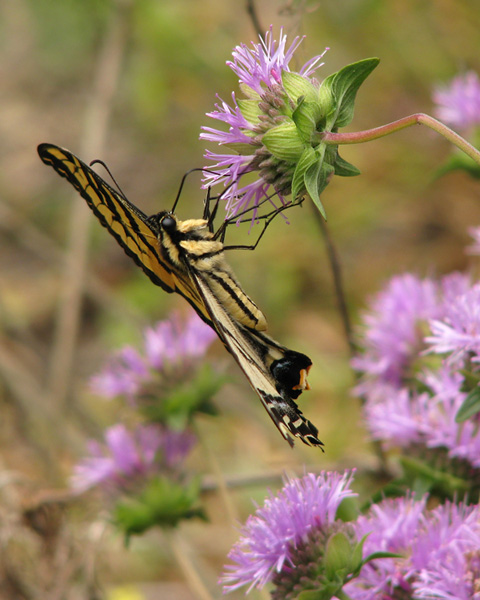 Western Tiger Swallowtail on Coyote Mint