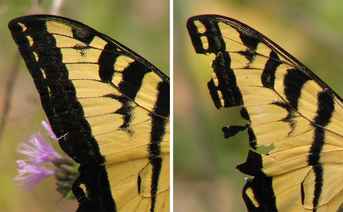 Western Tiger Swallowtail, wing comparison