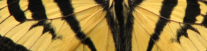 Western Tiger Swallowtail, wing close-up