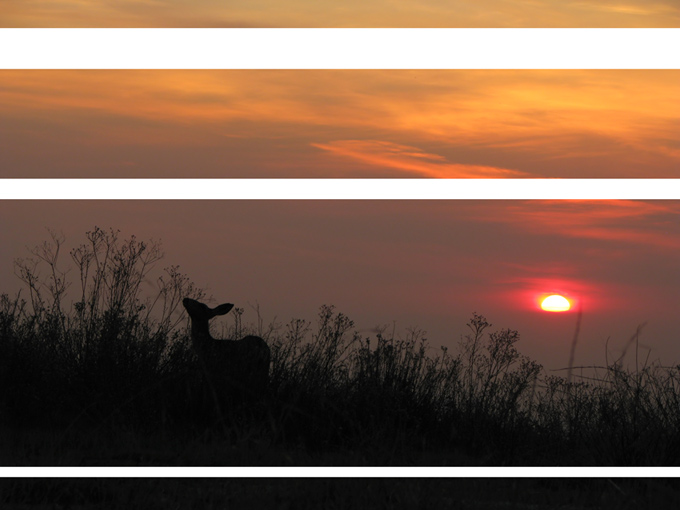 mule deer at sunset, sectional