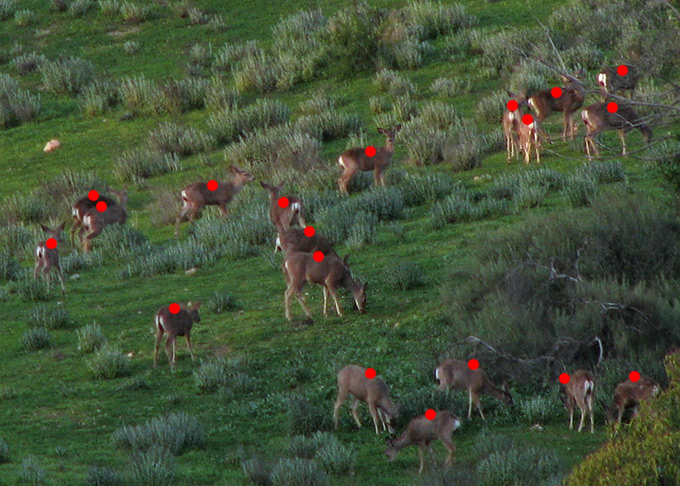 Mule Deer herd, count
