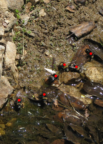 bumble bees at creek, count