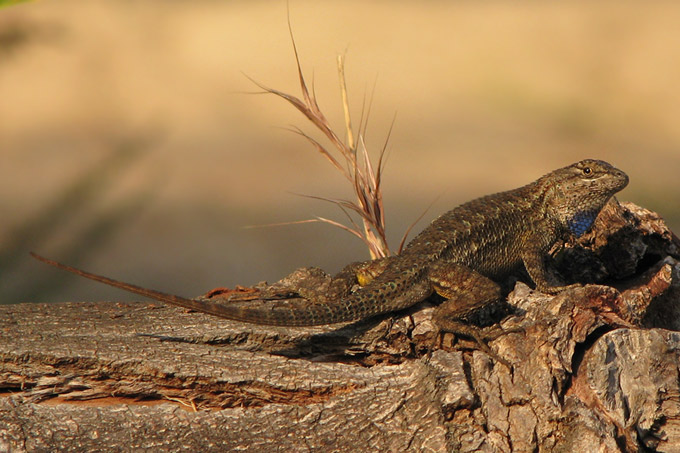 Western Fence Lizard, sunset profile