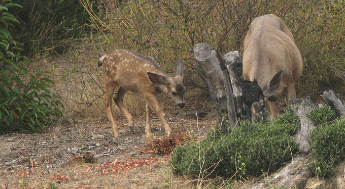 Mule Deer, female & fawn