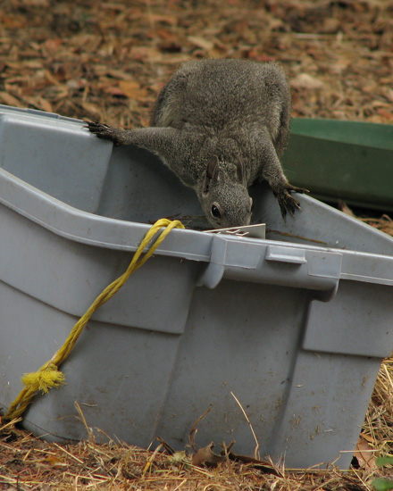 Western Gray Squirrel, drinking