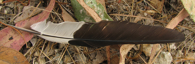 Acorn Woodpecker feather?