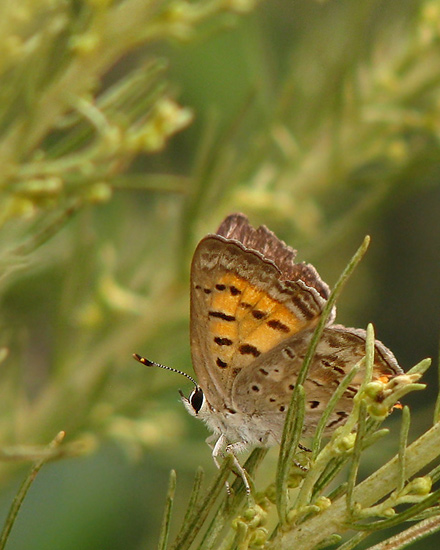 Taile Copper on California Sagebrush, ventral