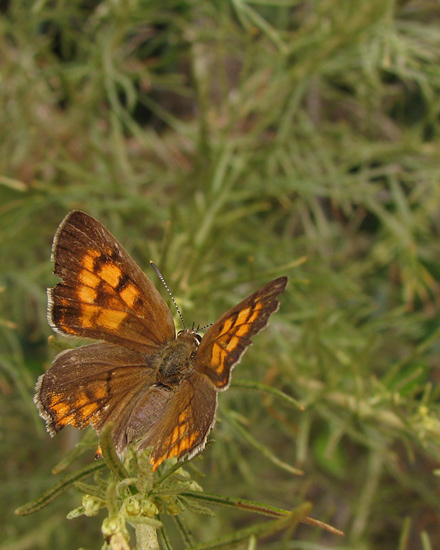 Tailed Copper on California Sagebrush, dorsal