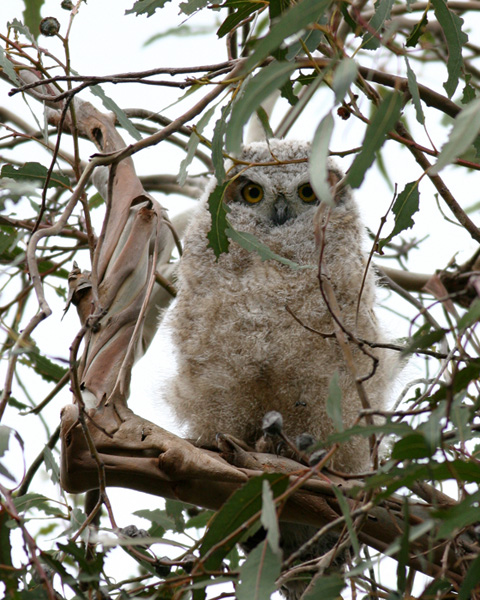 Great Horned Owl, immature in eucalyptus