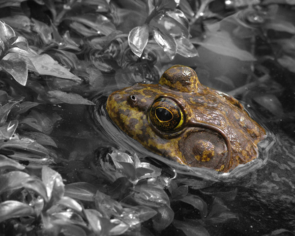 American Bullfrog & aquatic plants