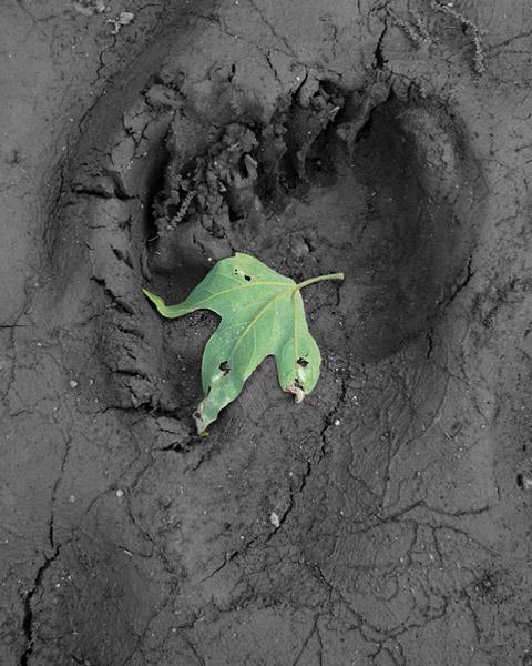 Black Bear footprint & sycamore leaf