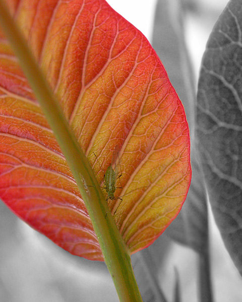 Aphid & Laurel Sumac leaf