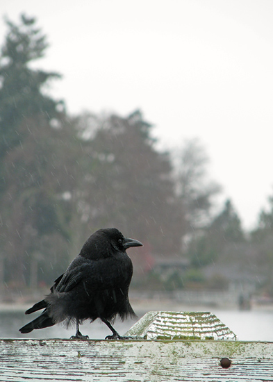 Crow + rain + the Seattle ferry
