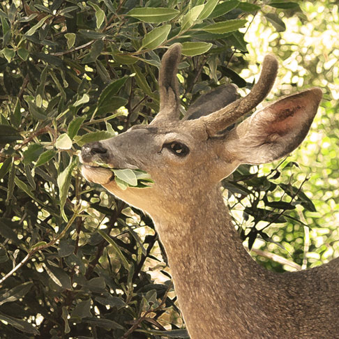 Mule Deer, male eating Toyon (filtered)