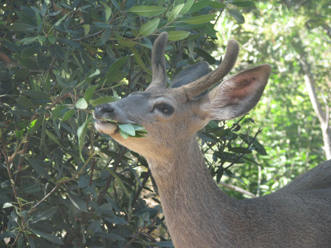 Mule Deer, male eating Toyon