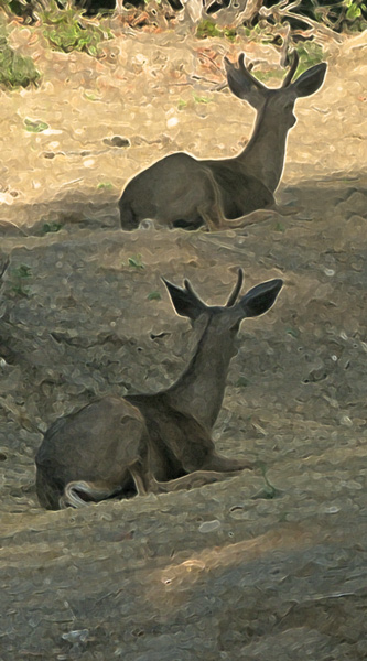 Mule Deer, two males resting (filtered)