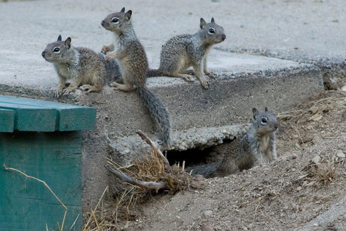 California Ground Squirrel, juveniles