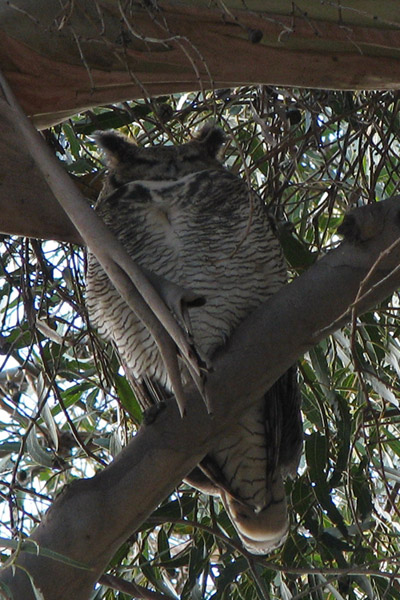 Great Horned Owl, most recent photo