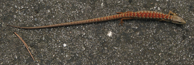 Southern Alligator Lizard, reddish