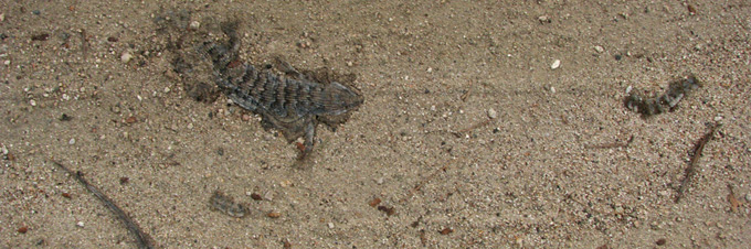 Southern Alligator Lizard, roadkill