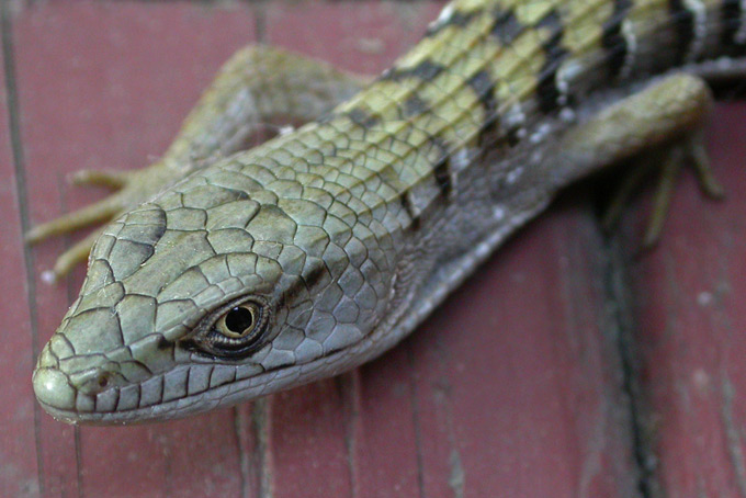 Southern Alligator Lizard, eye close-up