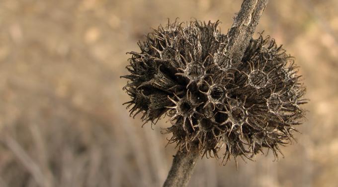 Black Sage, sepia
