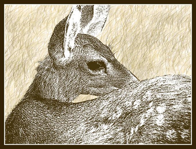 Mule Deer fawn, artwork