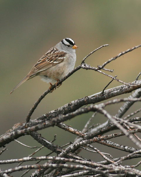White-crowned Sparrow & branches