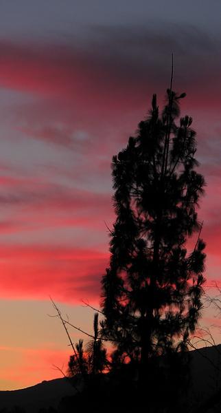 pink sunset & pine