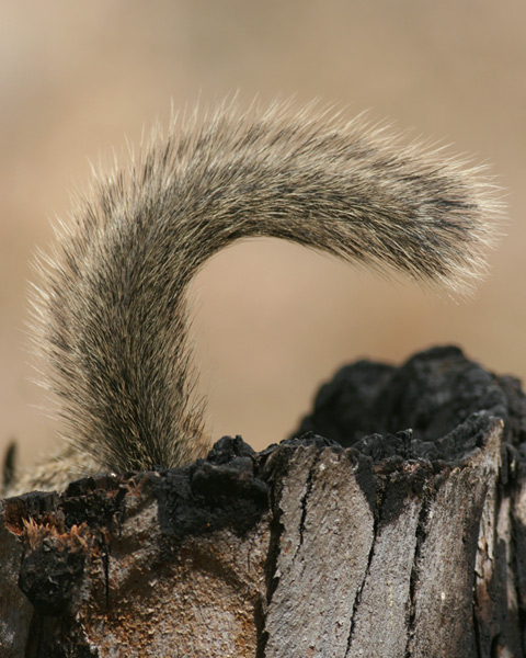 California Ground Squirrel, tail