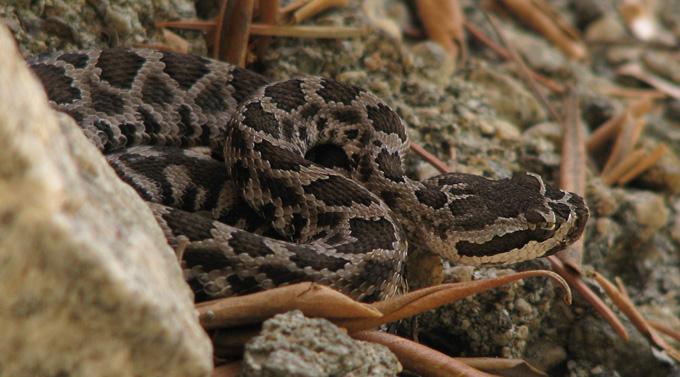 Southern Pacific Rattlesnake, immature