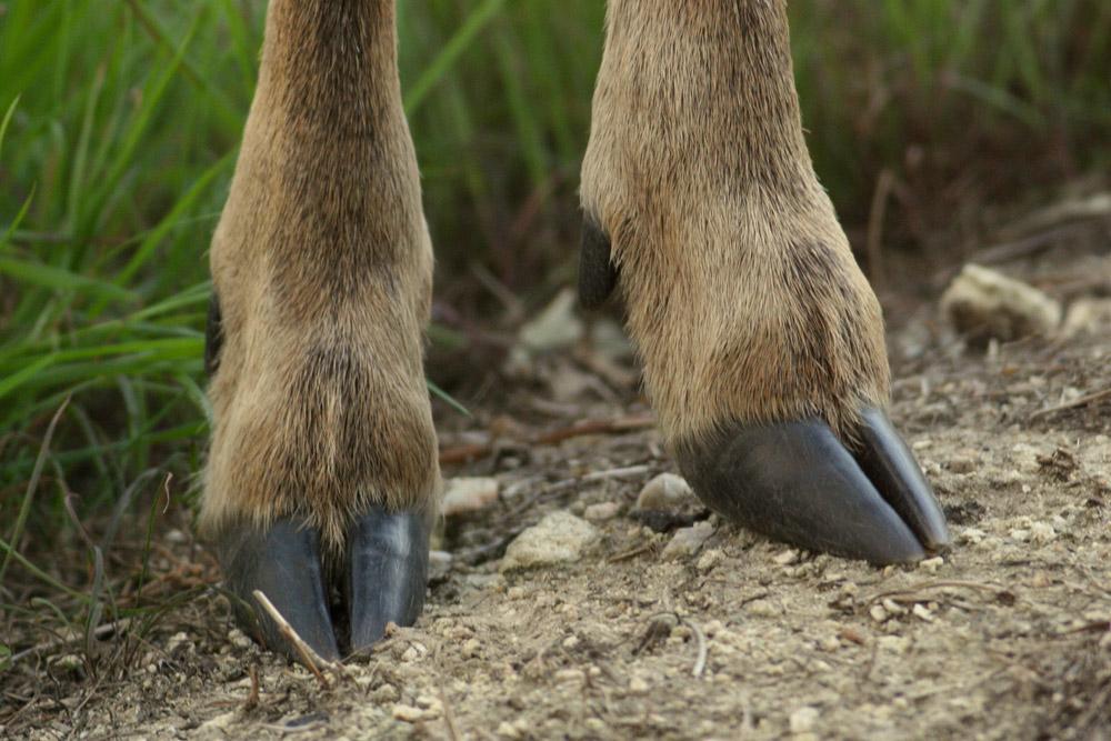 deer hooves - photo #1